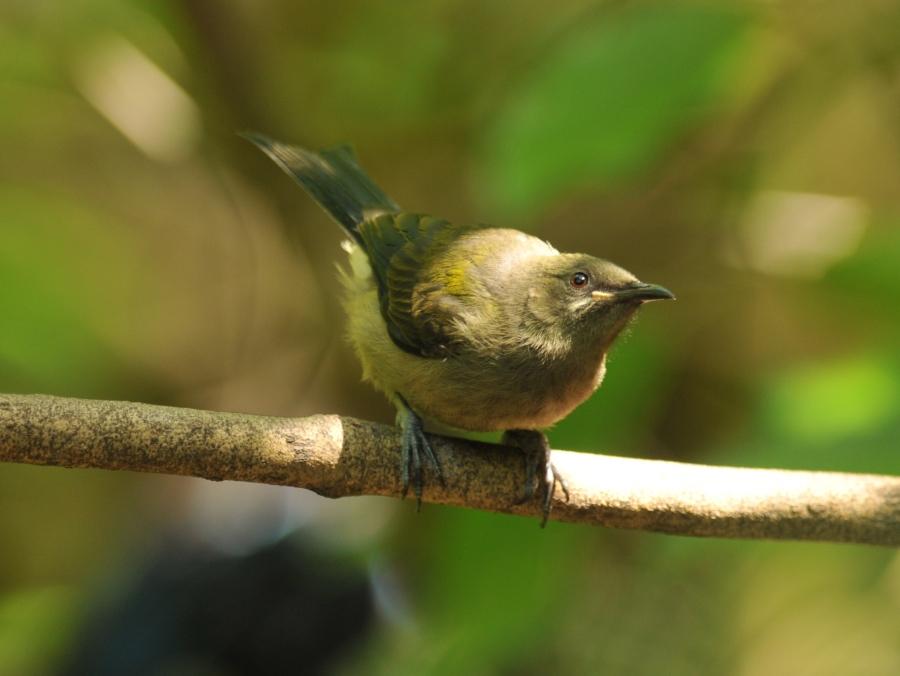 bellbird-tiri-jan15-version-2