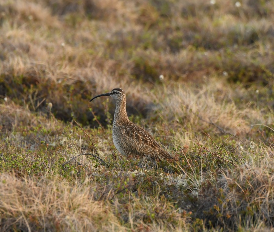 AK Nome whimbrel – Version 2