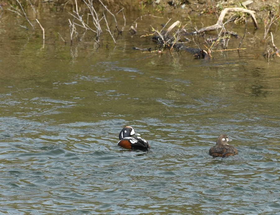 AK Nome harlequin duck
