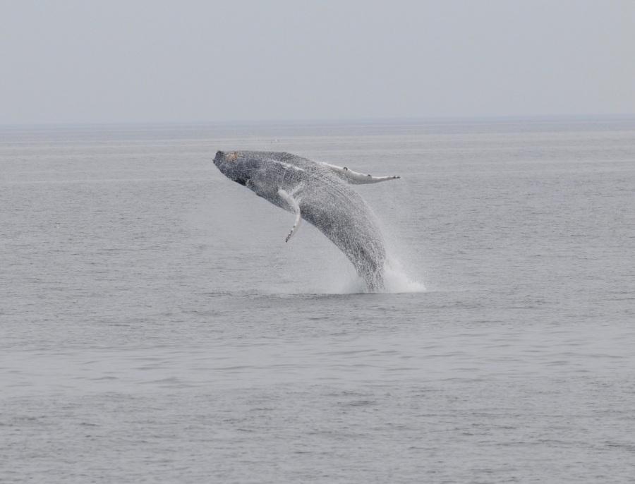 MA humpback