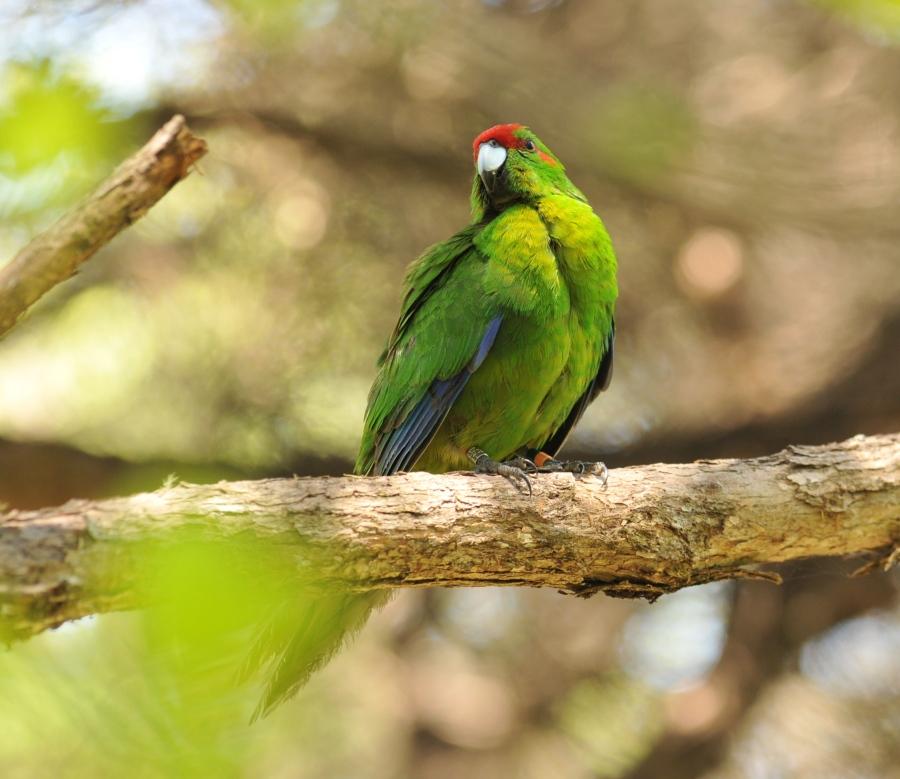 parrot-red-frntd-jan15