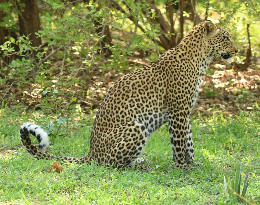 zambia leopard 2017