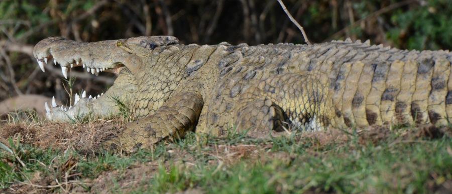 crocodile, Zambia