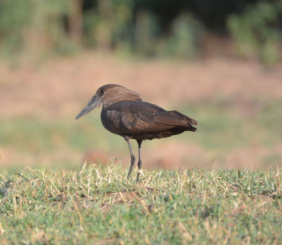 hammerkop, Zambia