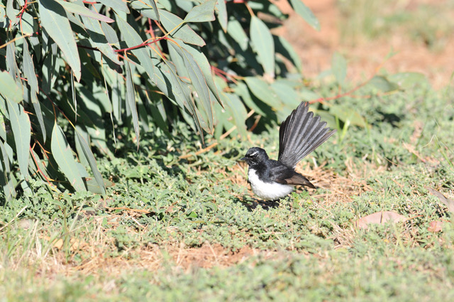 wagtail willie