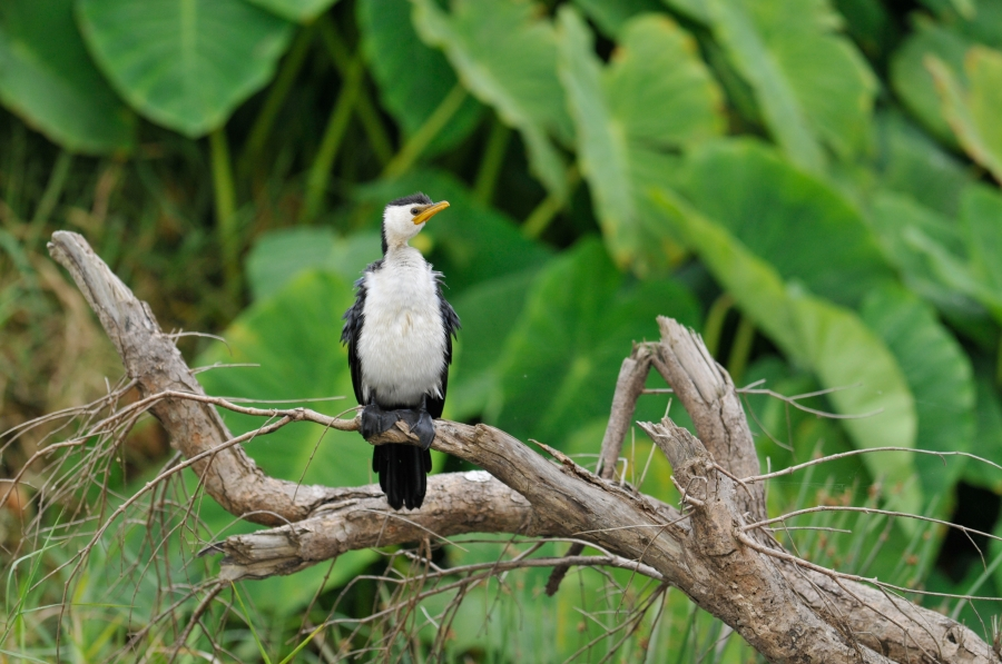 cormorant little-pied