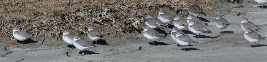 NZ 2017 miranda birds