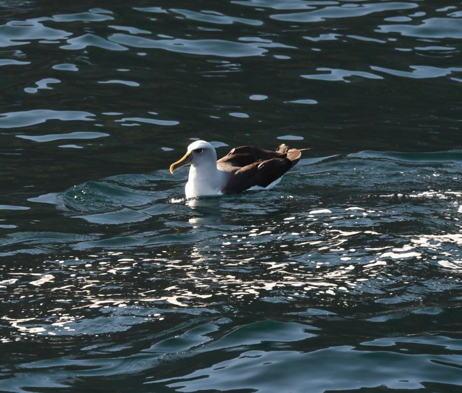 NZ DS bullers albatross.jpg