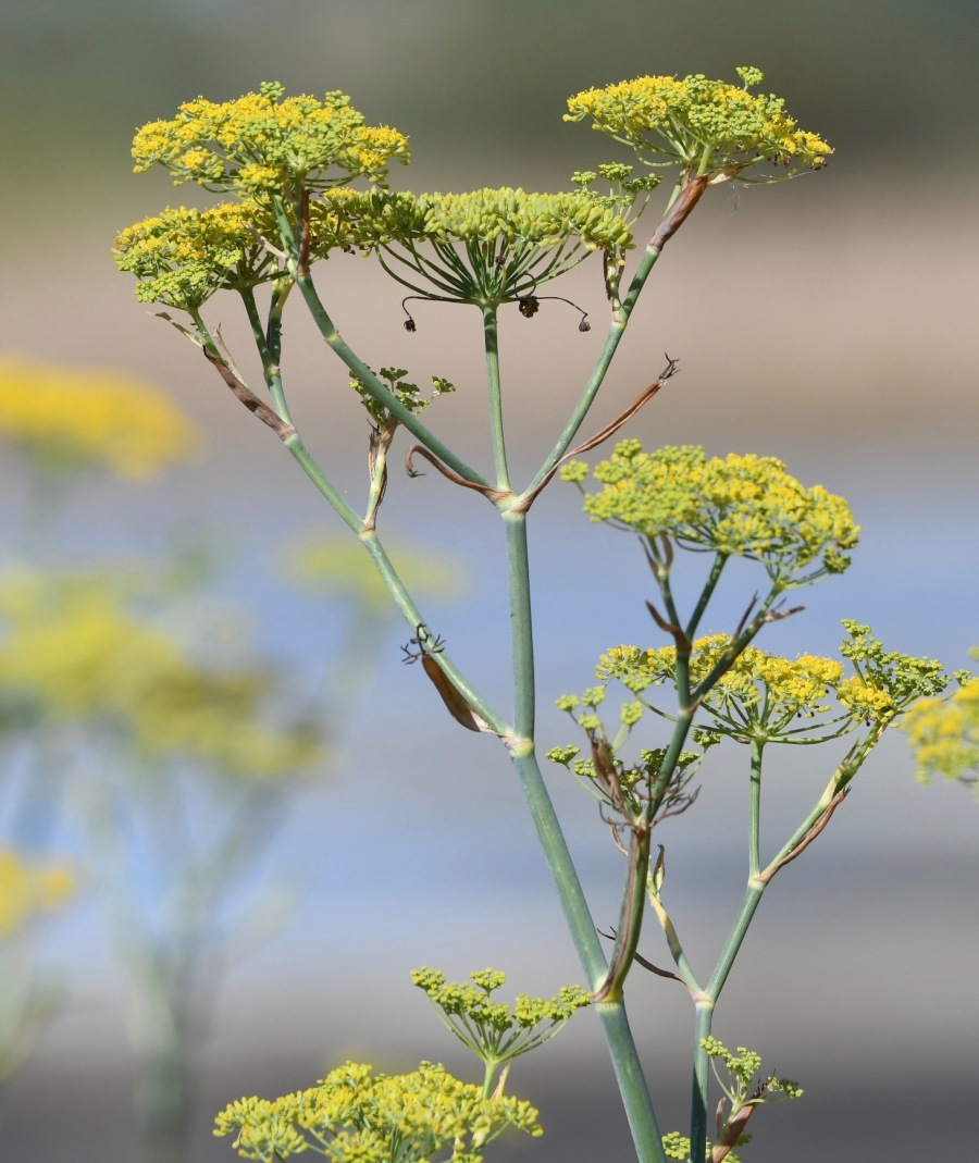 NZ miranda fennel.jpg
