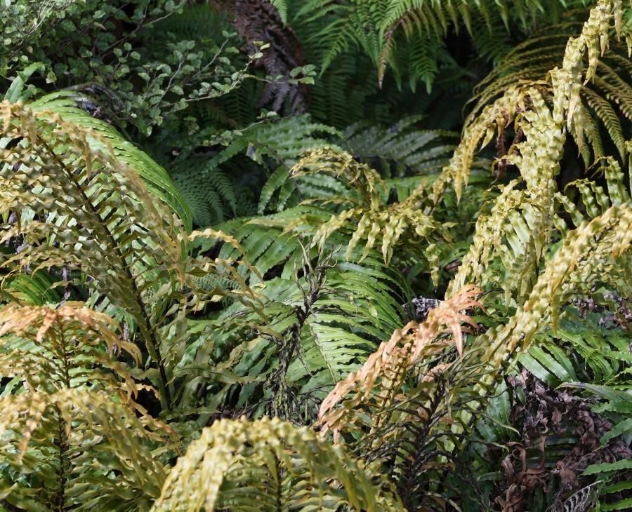 z NZ FJG ferns.jpg