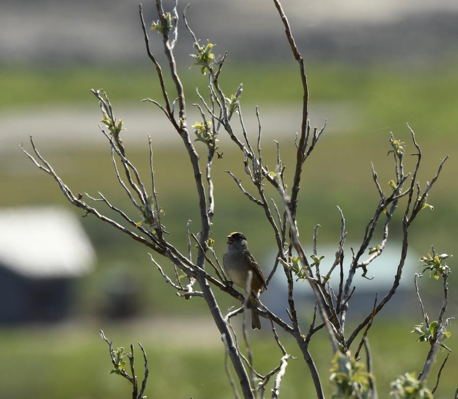 AK Nome golden crowned sparrow
