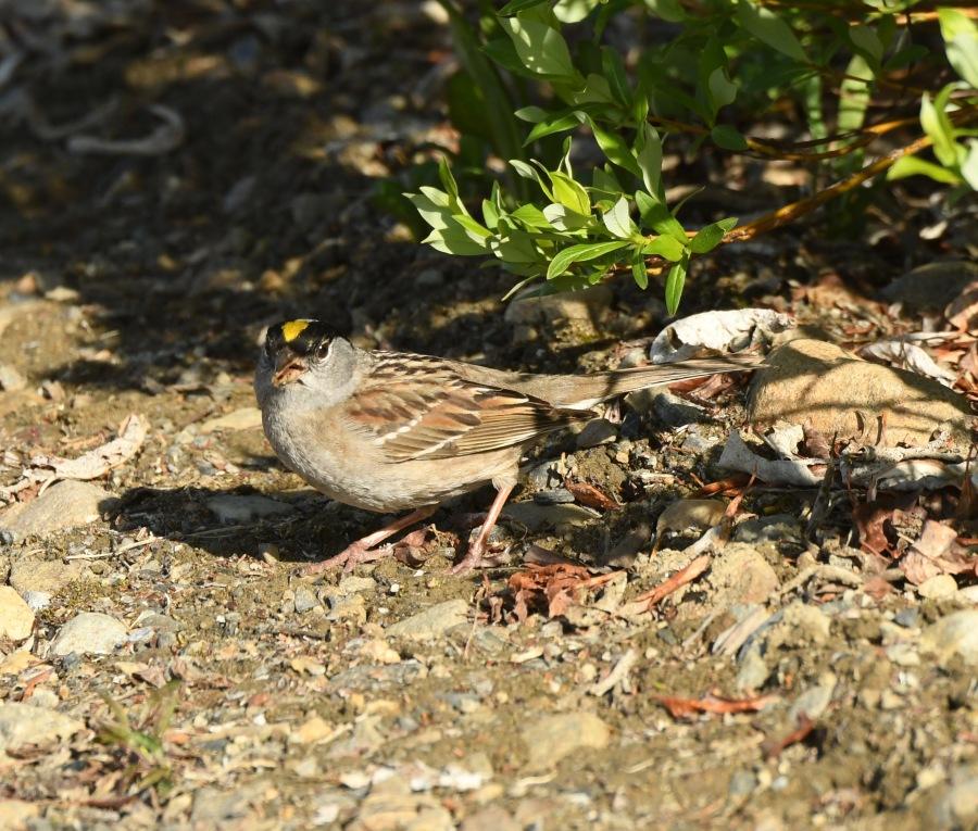 AK Nome golden crowned sparrow – Version 2