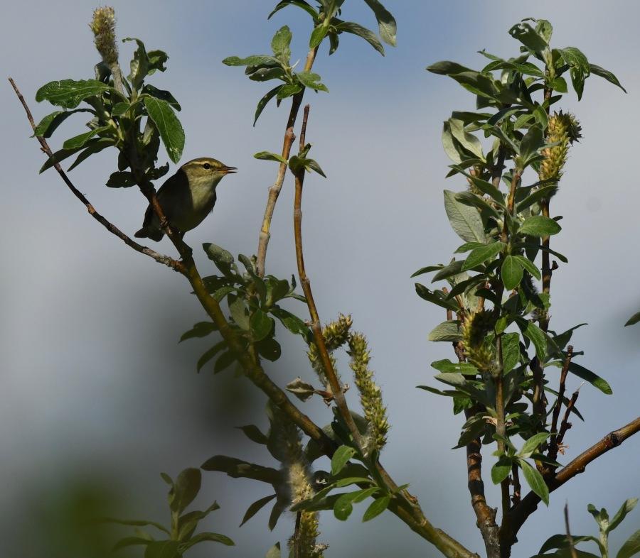 AK Nome arctic warbler