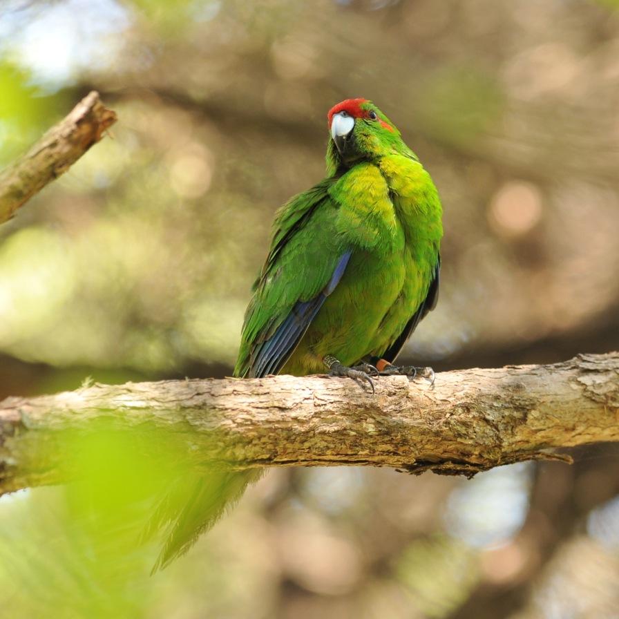 parrot red-frntd jan'15