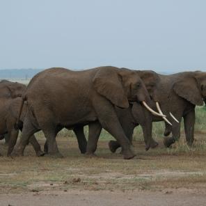 elephants (12)