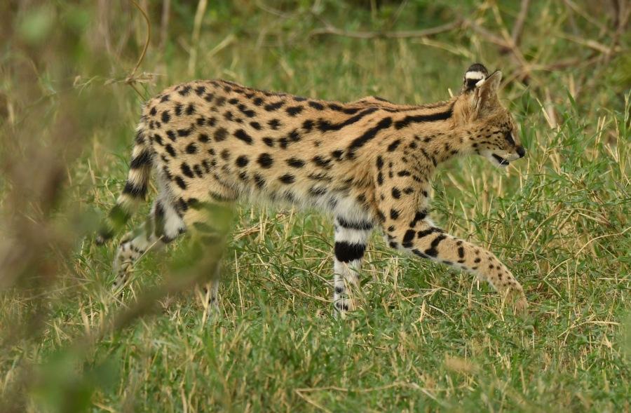 TZ 2017 serval