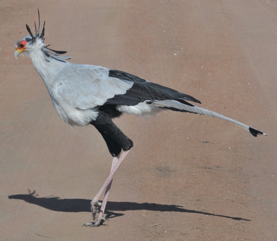secretary bird – Version 2