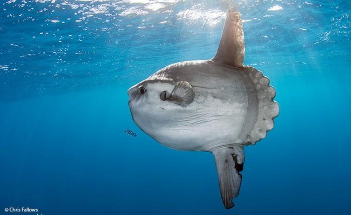 mola-ocean-sunfish-e1479683281534