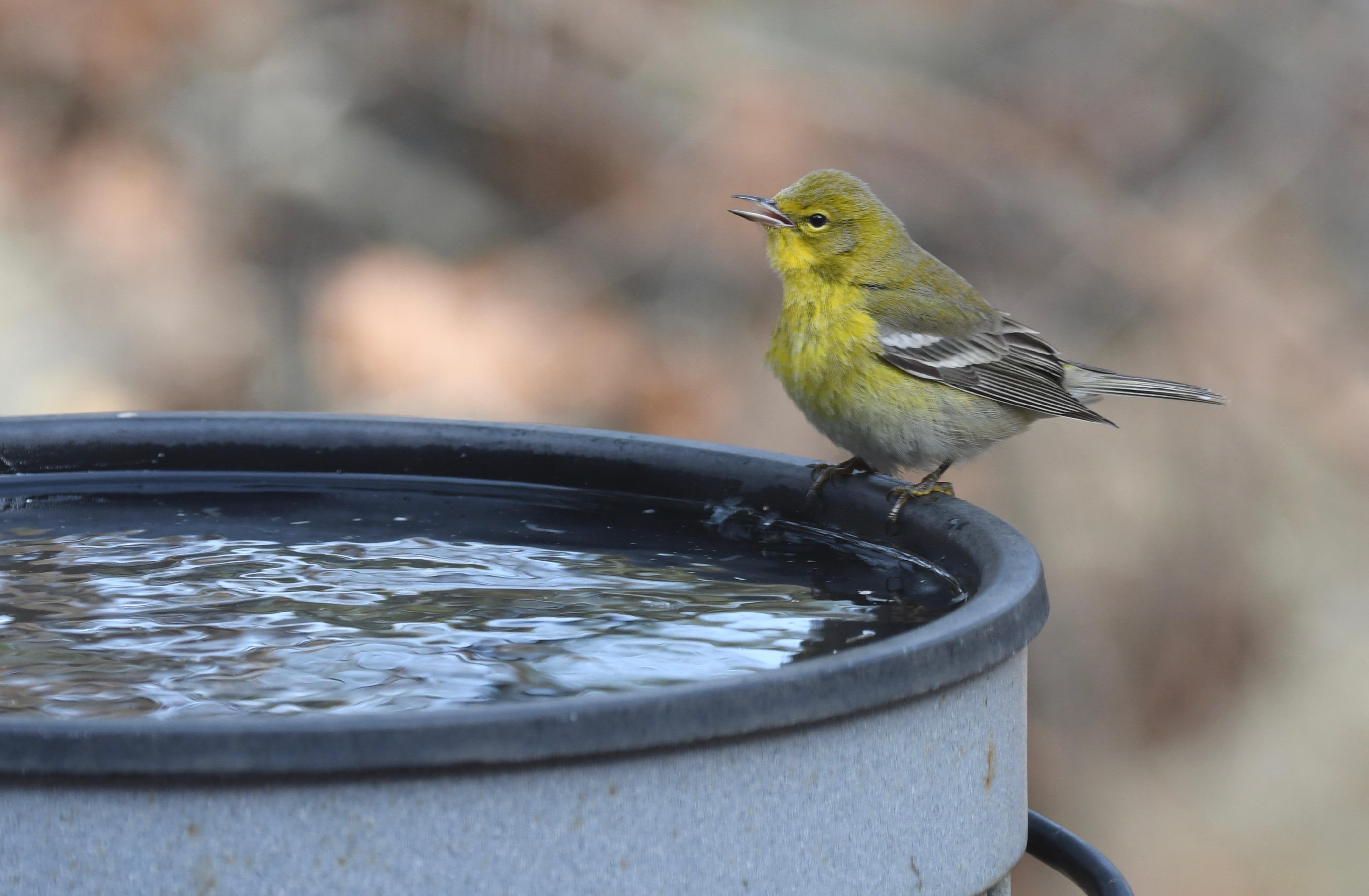 2019 water pine warbler blog